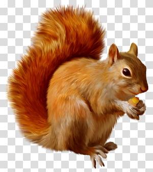Esquilo, esquilo, esquilo marrom png