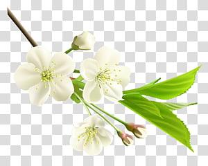 Flor branca, ramo de primavera com flores brancas da árvore, flores brancas png