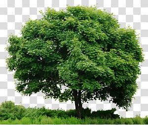 Olhe para árvores, Tree In, ilustração de árvore verde png