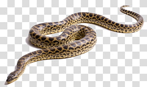 cobra marrom e preta, anaconda verde cobra anaconda amarela, anaconda PNG clipart