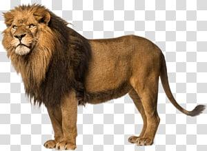 ilustração leão marrom, leão, leão livre PNG clipart