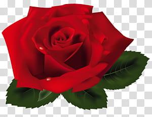 Rosa, rosa vermelha, rosa vermelha PNG clipart