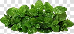 ilustração de planta de folhas verdes, Mentha spicata alface hortelã-pimenta, hortelã s png