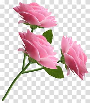 ilustração de três rosas rosa, rosa, rosas cor de rosa PNG clipart