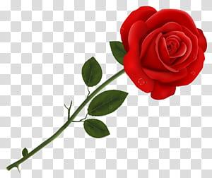 Lancaster Tea Red Rose Pizzeria Rosas vermelhas, rosa vermelha, rosa vermelha contra fundo branco PNG clipart