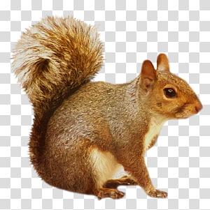 Esquilo, esquilo marrom esquilo, marrom png