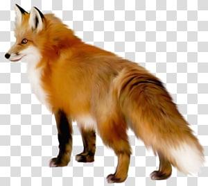 Raposa, raposa, bronzeado e raposa branca ilustração png