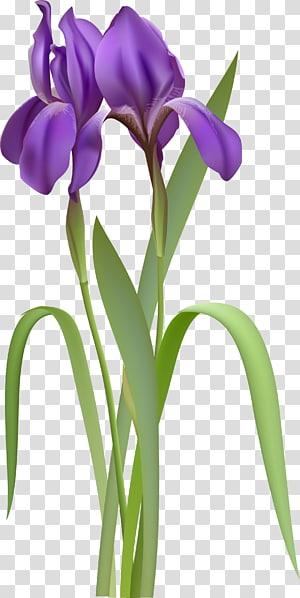 Íris versicolor, Iris Spring Flower, ilustração de flores de íris roxo PNG clipart