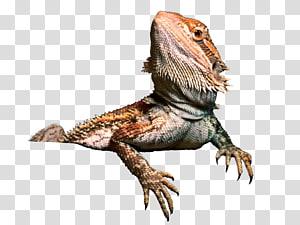 ilustração de réptil cinza e marrom, dragão barbudo central de Agama Lizard, dragão barbudo PNG clipart