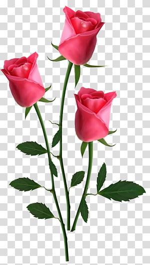 Flores cor de rosa Rose, lindas rosas cor de rosa, três flores rosa PNG clipart