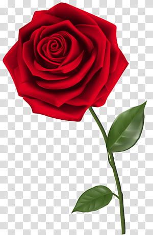 Rose, única rosa vermelha, rosa vermelha png