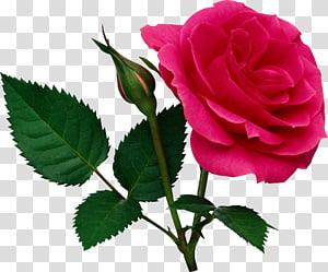 Rosa, rosa grande rosa e botão de rosa, ilustração de rosa vermelha PNG clipart