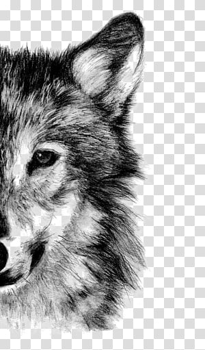 Lobo cinzento, desenho a lápis esboço, lobo, lobo cinzento png