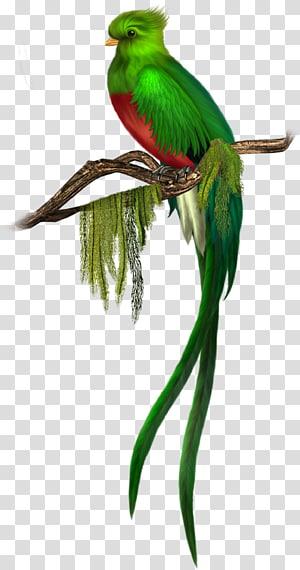 Pássaro Quetzal verde, pássaro verde livre, pássaro verde de peito vermelho empoleirado na ilustração do ramo png