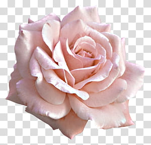 Rosa flor rosa, grande rosa luz rosa, flor branca PNG clipart