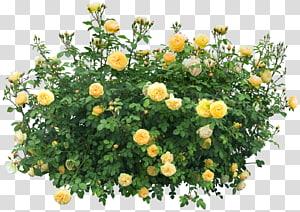 Planta de flor de arbusto, Bush, rosas amarelas PNG clipart