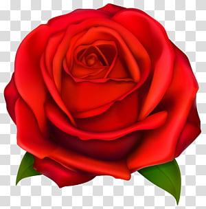 Rosa, rosa vermelha, ilustração de flor rosa vermelha PNG clipart