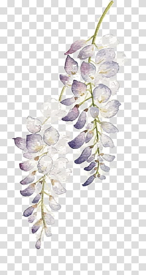 Flor Pintura em aquarela Wisteria floribunda, Flores em aquarela, ilustração de planta folheada em roxo e branco PNG clipart