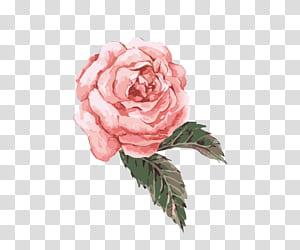Flor Pintura em aquarela, pintados à mão aquarela flor rosa, rosa rosa png