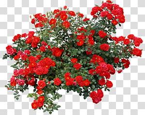 Flor de arbusto rosa, ilustração de arbustos, rosas vermelhas PNG clipart