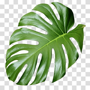 Estética vegetal, monstera, verde Monstera deliciosa folha PNG clipart