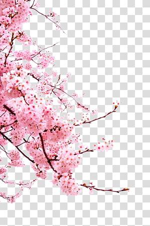 flores vermelhas, flor de cerejeira Cerasus, flores de cerejeira png