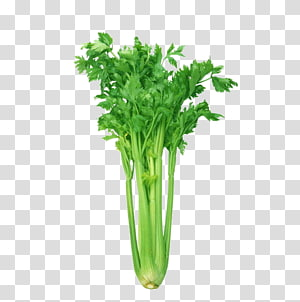ilustração vegetal verde, aipo de folhas de aipo alimentos orgânicos vegetais de saúde, esboço de legumes, aipo PNG clipart