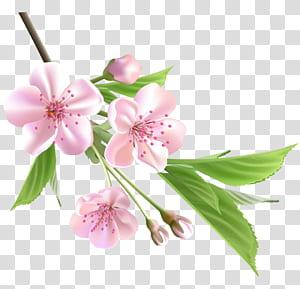 Árvore de desenho de flor, ramo de primavera com flores de árvore-de-rosa, flores de cerejeira rosa com fundo azul png