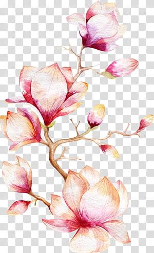 Pintura em aquarela flor de magnólia, árvore de orquídea, flores rosa illustrationb png